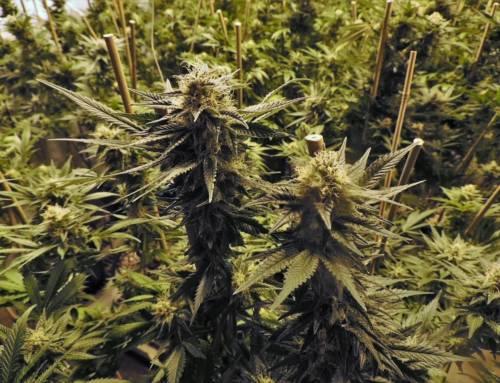 Cómo cultivar multivariedades de cannabis