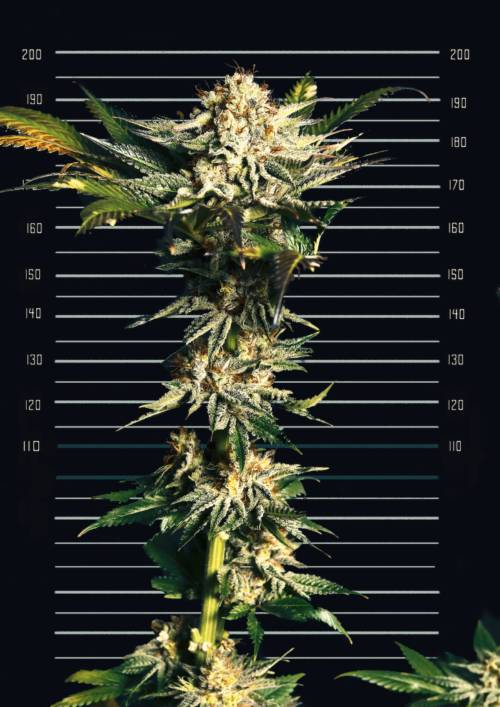 Foto de la variedad BLACK KISS de Cannopia Seeds